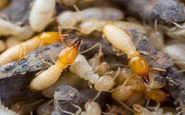 Termite Pest Control